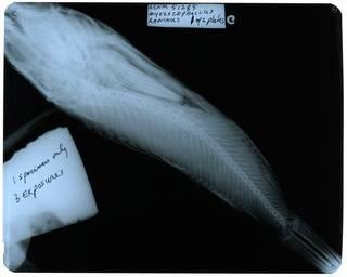 To NMNH Extant Collection (Myoxocephalus raninus RAD112128-001)