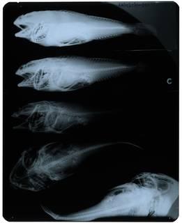 To NMNH Extant Collection (Myoxocephalus yesoensis RAD112131-001)