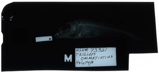 To NMNH Extant Collection (Triglops ommatistius RAD112139-001)