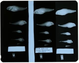 To NMNH Extant Collection (Acanthocottus sellaris RAD112146-002)