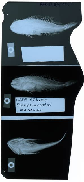 To NMNH Extant Collection (Pterygiocottus macouni RAD112169-001)