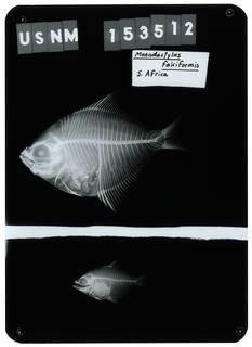 To NMNH Extant Collection (Monodactylus falciformis RAD112176-001)