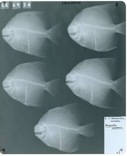 To NMNH Extant Collection (Parapsettus panamensis RAD112354-001)