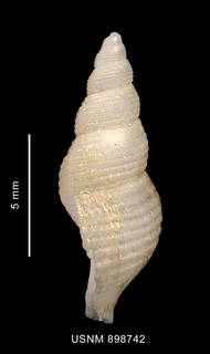 To NMNH Extant Collection (Pareuthria venustula Powell, 1951 shell lateral view)