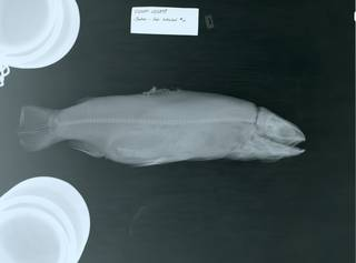 To NMNH Extant Collection (Salmo RAD104030-002)