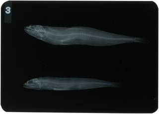 To NMNH Extant Collection (Synodus tectus RAD104373-001)