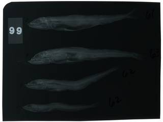 To NMNH Extant Collection (Synodus kaianus RAD104448-001)