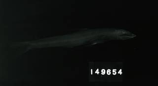 To NMNH Extant Collection (Bathypterois atricolor RAD104750-001)