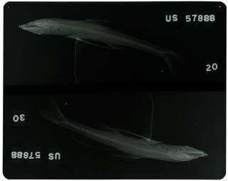 To NMNH Extant Collection (Bathypterois pectoralis RAD104759-001)