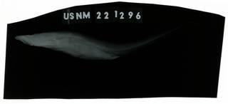 To NMNH Extant Collection (Apristurus brunneus RAD109752-001)