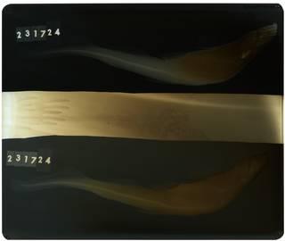 To NMNH Extant Collection (Galeus cadenati RAD109779-001)