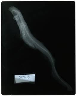 To NMNH Extant Collection (Galeus piperatus RAD109781-001)