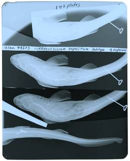 To NMNH Extant Collection (Cirrhoscyllium expolitum RAD109798-002)
