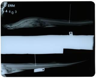 To NMNH Extant Collection (Cirrhoscyllium expolitum RAD109798-003)