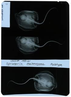 To NMNH Extant Collection (Springeria melanosoma RAD109929-001)