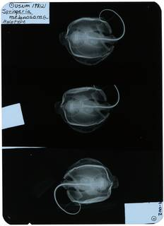 To NMNH Extant Collection (Springeria melanosoma RAD109929-002)