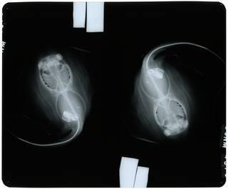 To NMNH Extant Collection (Dasyatis margarita RAD109939-002)