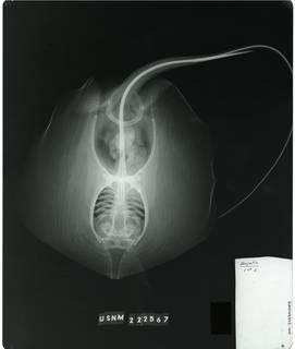 To NMNH Extant Collection (Dasyatis margaritella RAD109942-001)