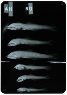 To NMNH Extant Collection (Nannobrachium nigrum RAD104914-001)