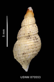 To NMNH Extant Collection (Pareuthria venustula Powell, 1951 shell dorsal view)