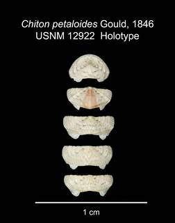 To NMNH Extant Collection (IZ MOL 12922 Holotype Shell Valves)