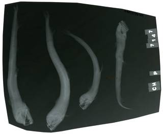 To NMNH Extant Collection (Chauliodus pammelas RAD113376-001)