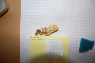 To NMNH Extant Collection (usnm 346817 - macronectes giganteus pygostyle)