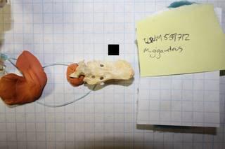 To NMNH Extant Collection (usnm 559712 - macronectes giganteus pygostyle)