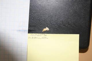 To NMNH Extant Collection (usnm 613930 - nesofregetta albigularis pygostyle)
