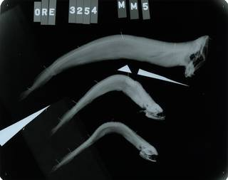 To NMNH Extant Collection (Melanostomias melanops RAD113885-001)