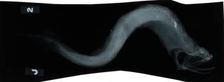 To NMNH Extant Collection (Photonectes braueri RAD114692-002)