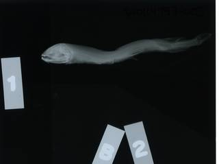 To NMNH Extant Collection (Trigonolampa miriceps RAD114793-003)