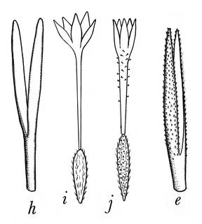 To NMNH Extant Collection (Hinterhubera nevadensis 4313)