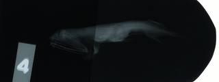 To NMNH Extant Collection (Aristostomias polydactylus RAD114835-001)