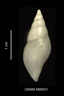 To NMNH Extant Collection (Typhlodaphne purissima (Strebel, 1909) shell dorsal view)