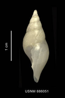 To NMNH Extant Collection (Typhlodaphne purissima (Strebel, 1909) shell lateral view)