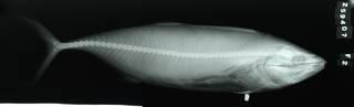 To NMNH Extant Collection (Cybiosarda elegans RAD111566-002)