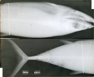 To NMNH Extant Collection (Gymnosarda RAD111591-002)