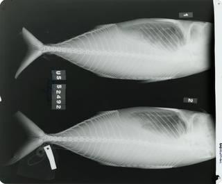 To NMNH Extant Collection (Rastrelliger kanagurta RAD111627-001)