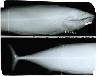 To NMNH Extant Collection (Sarda orientalis RAD111661-001)