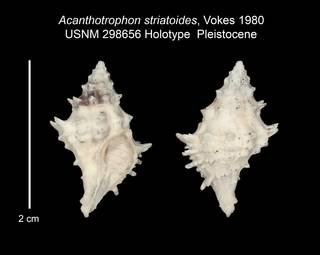 To NMNH Paleobiology Collection (USNM PALEO 298656_Acanthotrophon striatoides)