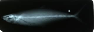 To NMNH Extant Collection (Scomberomorus multiradiatus RAD114039-001)