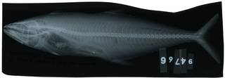 To NMNH Extant Collection (Scomberomorus regalis RAD114087-001)