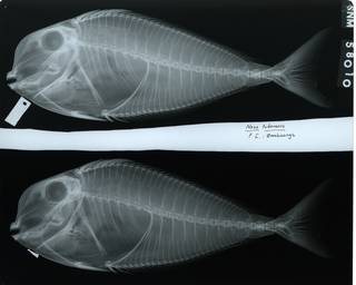 To NMNH Extant Collection (Naso tuberosus RAD112369-001)
