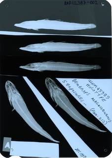To NMNH Extant Collection (Bembrops magnisquamis RAD112387-002)