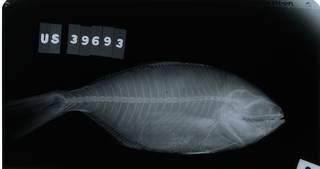 To NMNH Extant Collection (Seriolella brama RAD114271-001)
