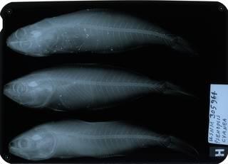 To NMNH Extant Collection (Psenopsis cyanea RAD114307-001)