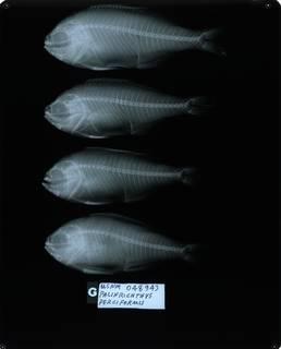 To NMNH Extant Collection (Hyperoglyphe perciformis RAD114309-001)
