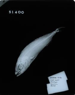 To NMNH Extant Collection (Ariomma lurida RAD114311-001)