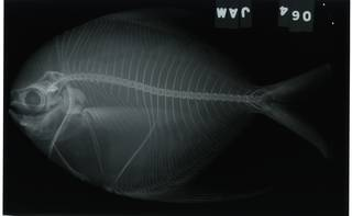 To NMNH Extant Collection (Peprilus RAD114319-001)